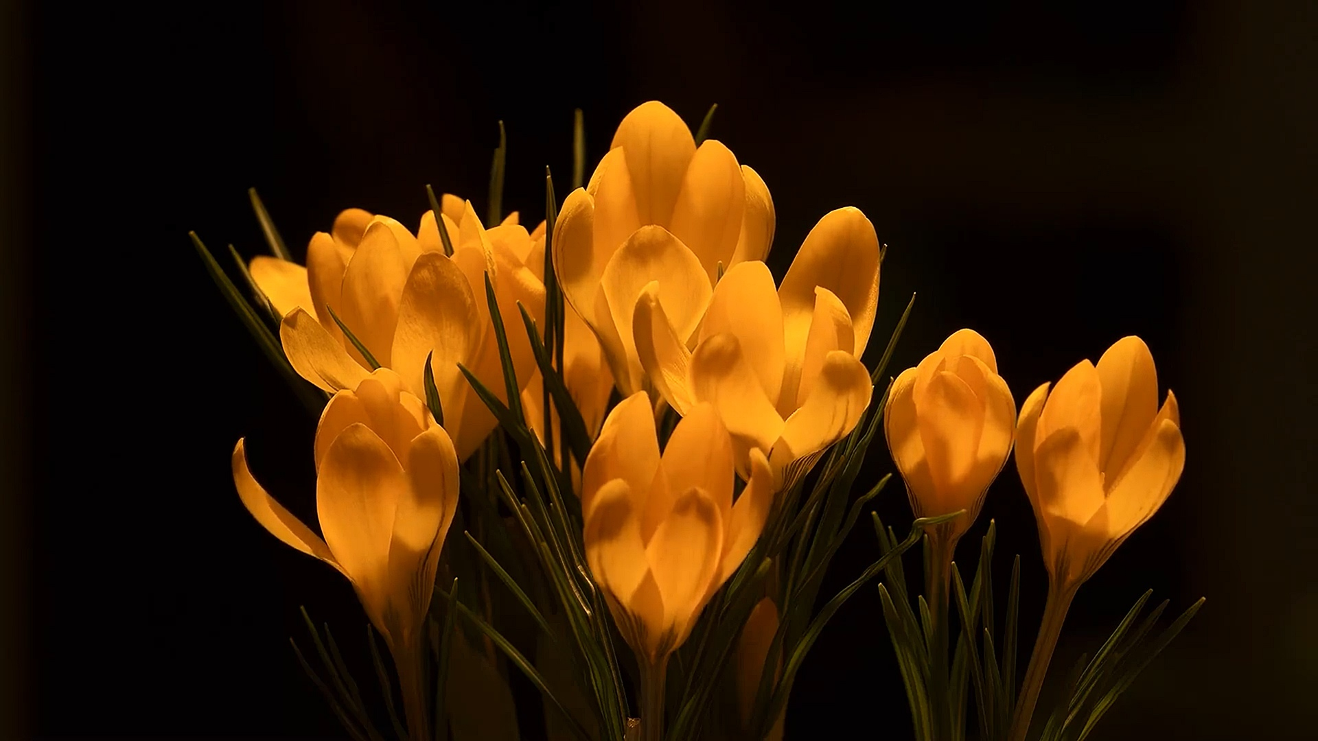 GOLDEN CROCUS ( RainWallpaper )